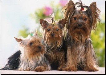 Yorkshire Terrier Canilvandogs