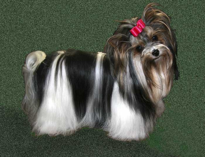 бивер фото собак