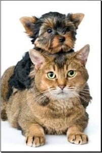 yorkie filhote gato